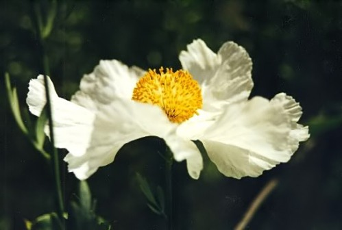 Matilija Poppy (by Vicki Priest)