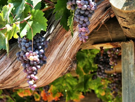 Ripening grapes on old, beautifully set grape vines (danjaeger at Freeimages.com).